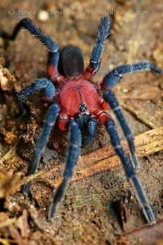 Red and blue spider