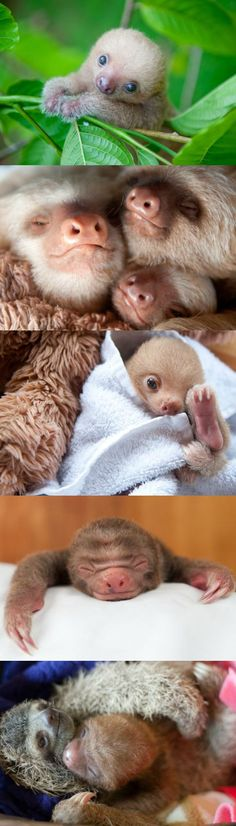 With their sweet, squishy faces and lazy movements, sloths are one of the most squee-worthy animals Cute Funny Animals, Cute Baby Animals, Animals And Pets, Animals With Their Babies, Cute Baby Sloths, Cute Sloth, My Spirit Animal, My Animal, Tier Fotos