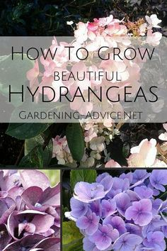 Growing Hydrangeas in your garden ensures abundant colour all summer long!  Here are some tips on Hydrangea care and maintenance that will make them thrive.