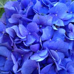 BLUE  hydrengea