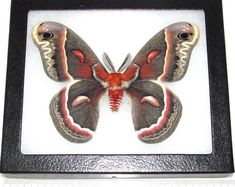 Argema mittrei male framed comet moth Madagascar | Etsy Giant Moth, Cecropia Moth, Deep Shadow Box, Butterfly Taxidermy, Pink Succulent, Third World Countries, Blue Morpho, Butterfly Frame, Animal Skulls