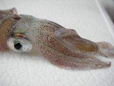 Troy Tuckey, Research Scientist at the Virginia Institute of Marine Science, took this photo of a beautiful squid he collected from the Chesapeake Bay.