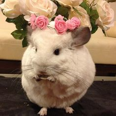 BLESS YOU, BUBU. | This Is The Most Important Chinchilla On Instagram Right Now