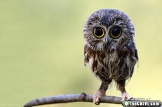 Baby owl - so cute