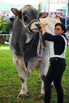 Giant Animals, Farm Animals, Animals And Pets, Cute Animals, Cattle Farming, Livestock, Bull Cow, Show Cattle, Cebu