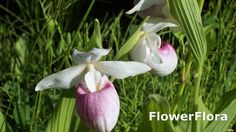 Lady Slipper Orchid-How To Grow Paphiopedilum Lady Slipper Orchid-Watch ...