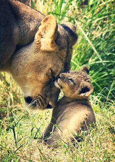 Lioness and her cub.