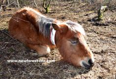 My New Forest foal having a doze in the March sunshine http://bit.ly/1cjA0DX