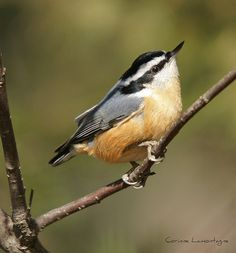 . Red Breasted Nuthatch (m)