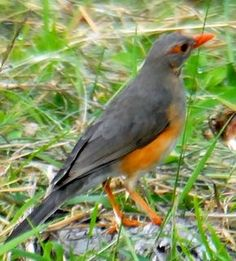Kurrichane Thrush (Turdus libonyana) is a species of bird in the family Turdidae. It is found in Angola, Botswana, Burundi, Democratic Republic of the Congo, Lesotho, Malawi, Mozambique, Namibia, South Africa, Swaziland, Tanzania, Zambia, and Zimbabwe. Its natural habitat is dry savanna. Its name is derived from Kaditshwene (rendered as 'Kurrichane') in Botswana.