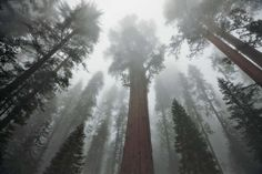Riesenmammutbäume in Nordamerika