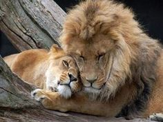 Lion And Lioness – The Royal Couple At Their Best - Animals Beautiful Cats, Animals Beautiful, Animals Amazing, Couple Lion, Animals And Pets, Cute Animals, Grand Chat, Lion And Lioness, Lion Love