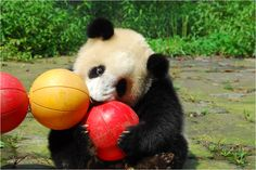 Toys are an important part of a captive panda's behavioral enrichment, not to mention they look ridiculously cute playing with them.