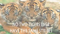Tigers! http://www.thewowfact.com/index.php?category=thewomsx_theliving
