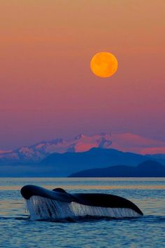 Day 296 Beautiful World - Humpback Whale at sunrise with full moon' Tongass National Forest, Alaska, by Ron Niebrugge Beautiful Moon, Beautiful World, Beautiful Places, Beautiful Pictures, Simply Beautiful, Tongass National Forest, Photo Animaliere, Humpback Whale, Jolie Photo
