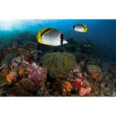 Lined butterflyfish swim over reef corals Komodo National Park Indonesia Canvas Art - Jaynes Gallery DanitaDelimont (26 x 18)