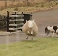 Cute Little Animals, Cute Funny Animals, Funny Cats, Cute Dogs, Funny Sheep, Animal Antics, Animal Jokes, Cute Animal Videos, Funny Animal Pictures