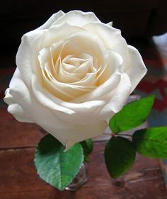 Shot at Home ! White Roses, White Flowers, Red Roses, Love Flowers, My Flower, One Rose, Morning Flowers, Flower Photos, Beautiful Roses