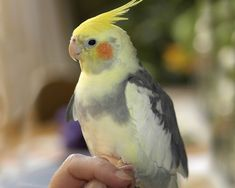 pretty cockatiel - love the speckled feathers