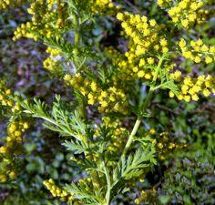Αρτεμισία, ένα βότανο που εξαφανίζει το καρκίνο του μαστού σε 16 ώρες!!!  Σύμφωνα με μελέτες που είχαν δημοσιευθεί σε τεύχος τουLife Sciences, μία ουσία του βότανουΑρτεμισία, ηαρτεμισινίνη, που χρησιμοποιείται τόσο στην Ελληνική βοτανική ιατρική όσο και στην Κινέζικη Ιατρική για χιλιάδες χρόνια, μπόρεσε να σκοτώσει το98%των καρκινικών κυττάρων του μαστού σε λιγότερο από16 ώρες!…