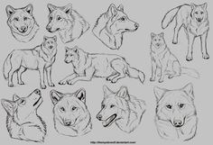 sketches/ studies on wolves from different angles. Feel free to use to look as reference when you are drawing.