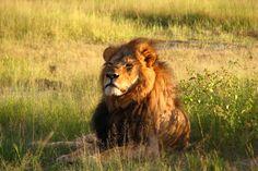 Cecil, the Lion