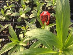 Cardinal flowers in Wildflower Farm greenhouse! Hummingbird magnets growing bigger by the day!