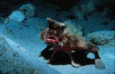 """Roughback Batfish: This strange fish is found along the coast of the western Atlantic Ocean from North Carolina in the USA to Brazil. It has bright red """"lips"""" ."""
