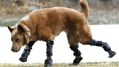 Nakio lost his paws to frostbite as a puppy, but thanks to his bionic limbs, he gets around just fine.