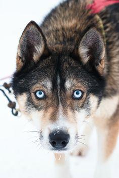 Doggy portrait. Husky dog blue eyes dog photography. Husky sledding in Salla Finland.