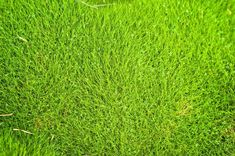 No Fuss Lawns With Zoysia Grass Are you looking for a hardy, droughtresistant lawn that requires little or no maintenance? Then perhaps you would like to try growing Zoysia grass rather than traditional lawn grass. Read here for more info. Landscaping Supplies, Backyard Landscaping, Landscaping Ideas, Pasto Natural, Site Photo, Lawn Care Companies, Bermuda Grass, Types Of Grass, Gardens