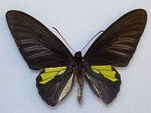 Platen's Birdwing, male upperside, from Palawan. Troides plateni or T. The taxonomic relationship between T. rhadamantus rhadamantus, T. rhadamantus plateni and T. dohertyi is uncertain. Haugum & Low rank plateni and doherty Butterfly Species, Bird Wings, Palawan, Moth, Relationship, Butterflies, Philippines, Butterfly, Relationships