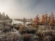 霜で覆われたアメリカカラマツの湿地