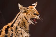 I own this place!  Servals may be small for big cats, but they are still wild animals and quite dangerous. Photographed by Terry Robertson-Fall at Shambala Preserve.