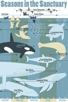 Seasons in the Sanctuary uncoated posters now available at Bookshop. Leatherback Turtle, Harbor Seal, Elephant Seal, Gray Whale, Great White Shark, Humpback Whale, Killer Whales, Marine Life, Mammals