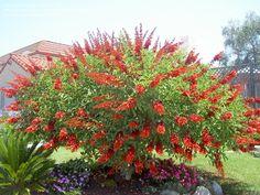 Genre : Erythrina - Espèce : crista-galli - Famille : Fabacées - Origine : Amérique du sud - L'Arbre corail est un arbuste au port...