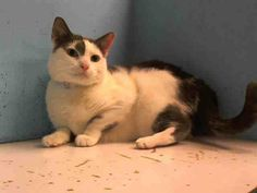 TO BE DESTROYED 12/21/13 Manhattan Center  My name is BOBBI. My Animal ID # is A0987070. I am a spayed female white and gray domestic sh mix. The shelter thinks I am about 5 YEARS old.  I came in the shelter as a OWNER SUR on 12/10/2013 from NY 10455, owner surrender reason stated was ALLERGIES. appreciates attention, is easy to handle and tolerates all petting.  https://www.facebook.com/photo.php?fbid=713814131963755&set=a.576546742357162.1073741827.155925874419253&type=3&theater