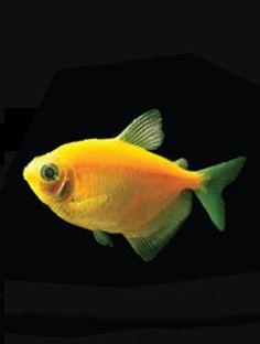 1000 images about glofish born brilliant on pinterest for Petsmart fish guarantee