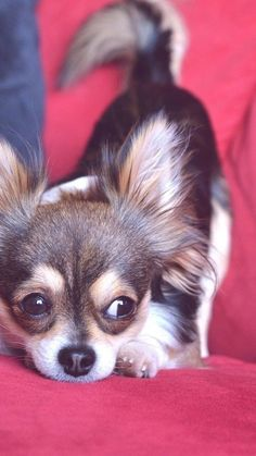 Cute Chihuahua, Chihuahua Puppies, Cute Puppies, Cute Dogs, Dogs And Puppies, Doggies, Chihuahuas, Yorky Terrier, Baby Animals