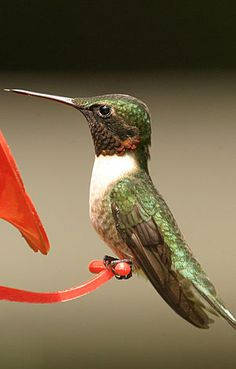 Ruby-Throated Hummingbird - I have dozens of Coral Bells all over the yard that attract these.