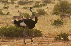 The Somali Ostrich. They may be common and gangly, but they have great personalities and a fascinating past. Ostriches are endemic to Africa, but there was a time when they used to roam Europe and Asia, with fossils found in Greece, Russia, Mongolia and India.