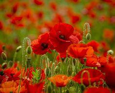 Explore on 3 July 2014 Poppies. Beautiful Flowers Garden, Love Flowers, My Flower, Beautiful Gardens, Flower Art, Flower Power, Wild Flowers, Tattoo Papillon, Poppy Decor