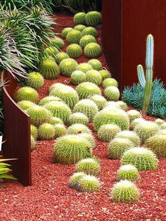 I love this display of barrel cacti flowing down the hill. The Royal Botanic Gardens, Sydney Australia