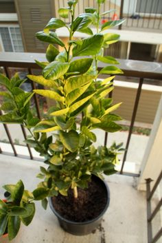 Growing lime trees in pots have the advantage of ease of movement and protection from cold. The information in this article will help with growing a potted lime tree.