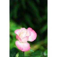 27 May . 2017  おはようございます☀  我が家の薔薇が ようやく咲きました✨  Location:Chiba  #一眼レフ初心者 #一眼レフ練習中 #ファインダー越しの私の世界 #カメラ好きな人と繋がりたい #写真撮ってる人と繋がりたい #カメラのキタムラ #キタムラ写真投稿 #wp_flower #wp_japan #はなまっぷ #flowerstagram #flowerslovers #daily_photo_jpn #lovers_nippon_ #whim_life #team_jp_flower #total_flowers  #amazing_flowerz #flower_special_ #flower_special_rose #team_jp_東 #team_jp_ #canon #canonphotography #花 #flower #薔薇 #千葉カメラ部 #房総 http://gelinshop.com/ipost/1523582165841128380/?code=BUk2ehVFKu8