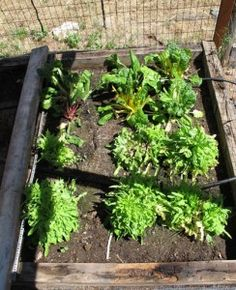 Lettuce and Swiss Chard