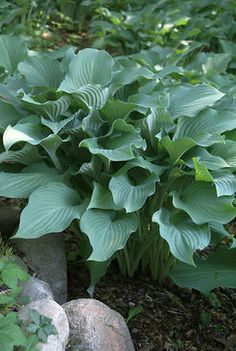 The upright, vase-shaped frosty blue leaves of Krossa Regal demand a commanding presence in the garden. This classic is highly recommended by Hosta experts and regarded as one of the best blues available.
