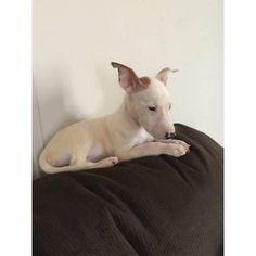 CKC registered mini bull terriers puppies