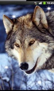 Top Android Wolf Song HD live wallpaper – Wolf Song HD live wallpaper Free Download