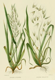 Oats French Antique Botanical Print